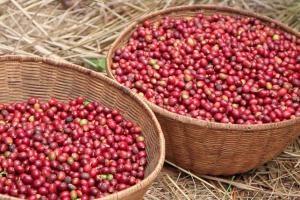 le café, la récolte du café